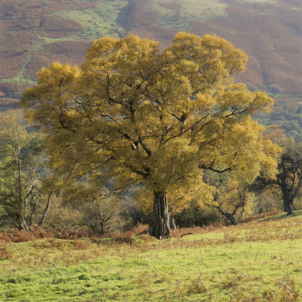 A tree in golden autumnal colours at Cwm Cynwyn