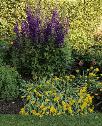Mauve delphiniums and yellow allium moly at Dunham Massey