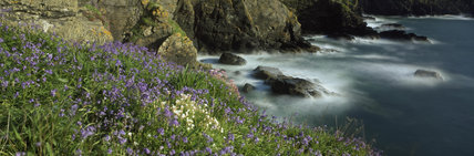 Wild purple and white flowers, grass and lichen grow on the Cliff tops and faces at Lizard Point