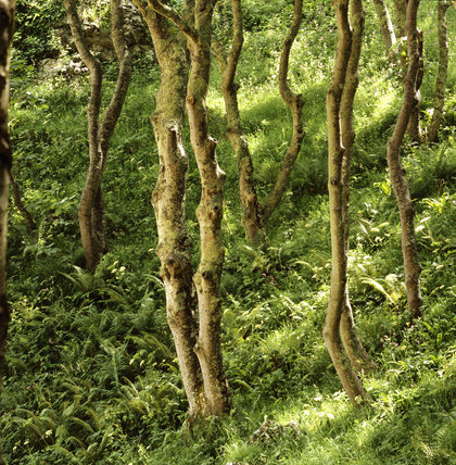 A bracken covered slope above Barafundle Beach, with sunlight filtering between the trunks of the trees