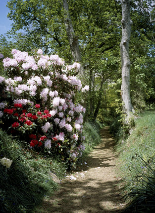 Rhododendron walk with woodland in spring, Mottistone Manor Garden, Isle of Wight