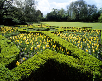 Stunning parterre with Tulipa 'Mrs. Scheepters'  & Forget-me-not 'Indigo' surrounded by clipped hedges at Mottisfont Abbey & garden