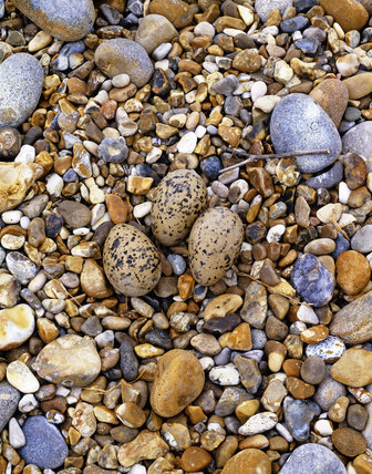 An Oystercatcher (Haematopus ostralegus) nest with eggs laid onto the shingle of the beach at Orford Ness