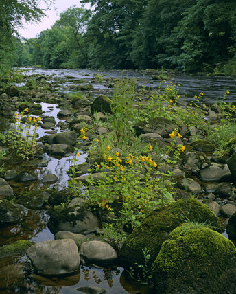 View along the River Allen, Northumberland, with Monkeyflower, Mimulus guttatus, among rocks in foreground