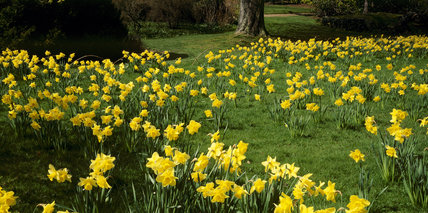 Close view of an extensive area of daffodils in flower in a grassy area in Emmetts Garden