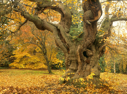 A Large Old And Gnarled Sweet Chestnut Tree At Sheffield