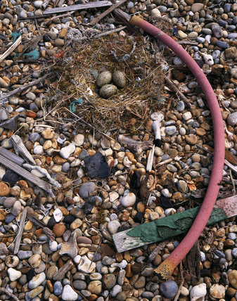 Herring gull nest with eggs on shingle beach with a length of pink plastic piping, pieces of wood and other debris at Orford Ness