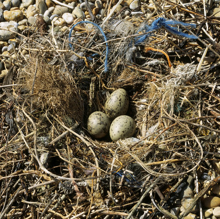 Close view of three gulls eggs in a nest on a pebble beach at Orford Ness