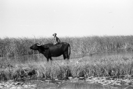 Suaid herder riding a buffalo