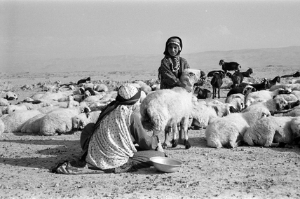 Kurdish woman milking sheep