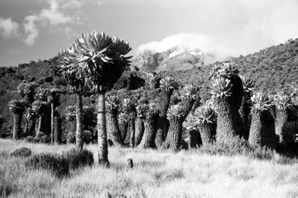 Giant groundsel on Mount Kilimanjaro