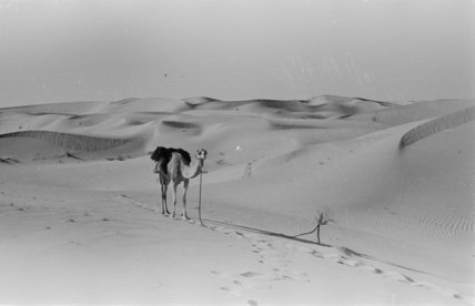 View of a camel belonging ...