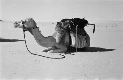 Portrait of Wilfred Thesiger's camel ...