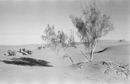 View of a ghada [Haloxylon ...