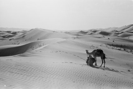 View of camels, belonging to ...