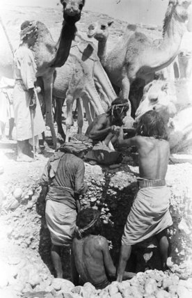 Mahra Bedouin watering camels at ...