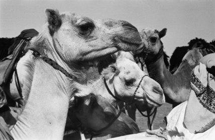 Close up portrait of camels ...