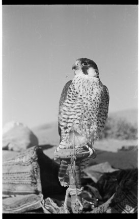 Portrait of a peregrine falcon ...