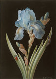Blue Iris, caterpillar and beetle, by Barbara Regina Dietzsch