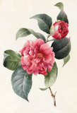 Camellia, by Louise d'Orleans