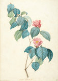Camellia Japonica, by Redoute