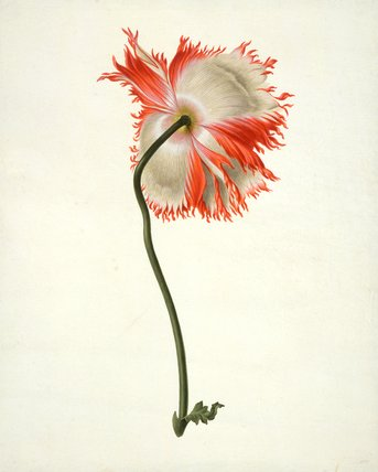 Field poppy, seen from behind, by Pieter Withoos