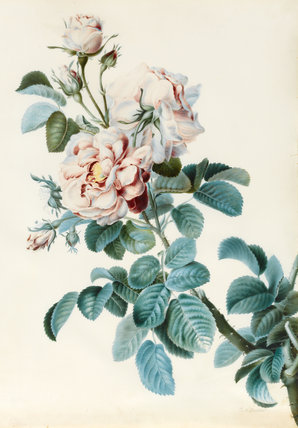 Damask Rose, by C.M. Bucher