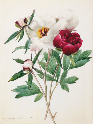 Red and white herbaceous Paeonies, by Louise d'Orleans