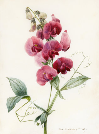 Everlasting Pea, by Louise d'Orleans