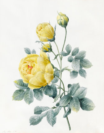 Yellow Roses, by Louise d'Orleans
