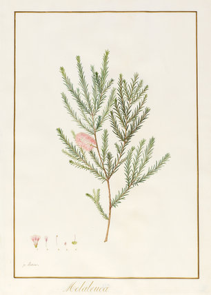 Melaleuca, including Five Studies of the Bloom, by Pancrace Bessa