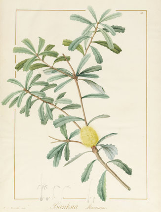 Banksia Marcescens, by Pierre Joseph Redoute