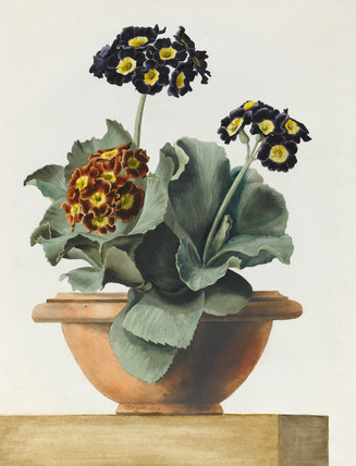 Potted Primula, by Pancrace Bessa