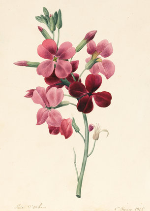 Matthiola, Stock, by Louise d'Orleans