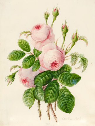 Three Centifolia Roses with Buds, by Caroline Adrien