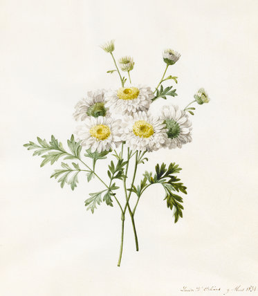 Chrysanthemum Parthenium, by Louise d'Orleans