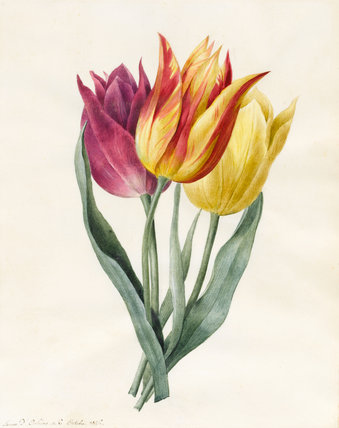 Three Lily Tulips, by Louise d'Orleans