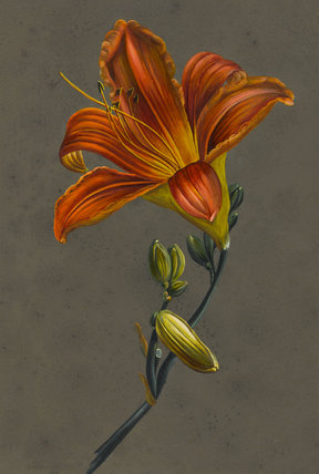 Hemorocallus (Day Lily), by Louise d'Orleans