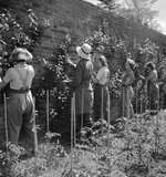 Women pruning pears in the walled garden at the Women's Horticultural College at Waterperry House in Oxfordshire, 1943.
