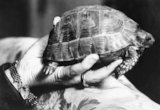 Tommy the tortoise, the pet of Mrs Dudley Beresford, was injured by shrapnel during the barrage of a German air raid on London on 29 September 1917.