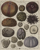 'Echinus', Genus XVIII, The Genera verminum, London, 1783 (tab.11)