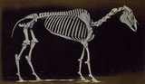 Skeleton of horse, standing