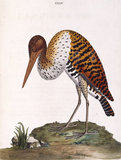 The Brasilian Bittern', from 'New illustrations of zoology', London, 1776