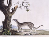 The Fossane', from 'New illustrations of zoology', London, 1776