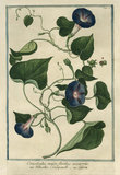 Convolvulus Major [Morning Glory]