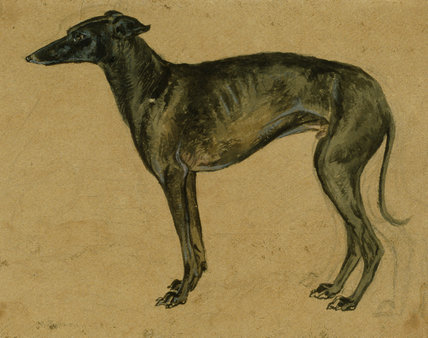 A greyhound in profile