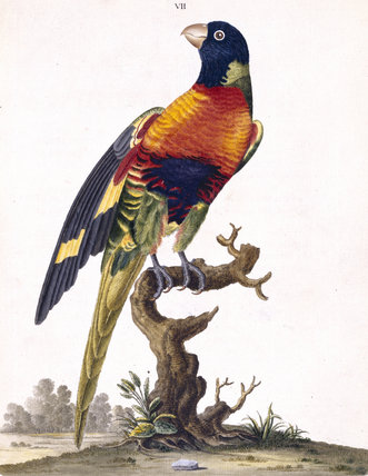 The Blue-bellied Parrot', from 'New illustrations of zoology', London, 1776