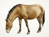 A reconstruction drawing of a Mesolithic wild horse