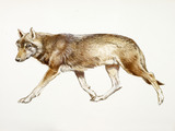 A reconstruction drawing of a Mesolithic wolf
