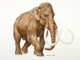 A reconstruction drawing of a Palaeolithic woolly mammoth